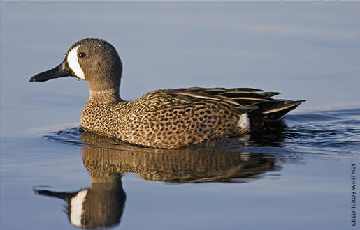 Blue-winged Teal Facts, Figures, Description and Photo - photo#16