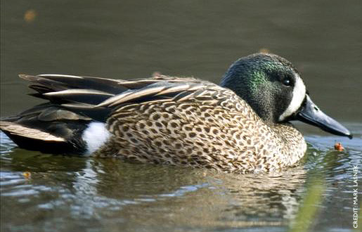 Blue-winged Teal Facts, Figures, Description and Photo - photo#8