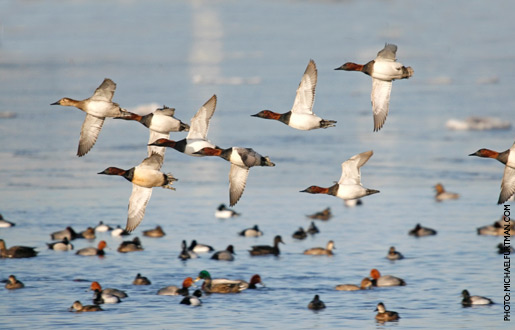 canvasback_upd_1.jpg