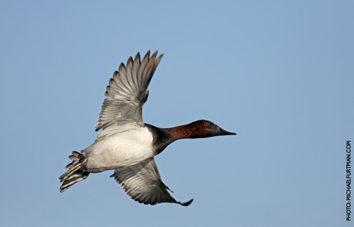 canvasback_upd_3.jpg