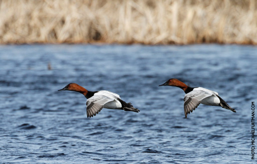 canvasback_upd_4.jpg