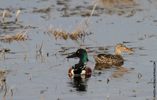 northernShoveler_upd_4.jpg