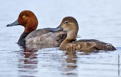 Redhead Duck Hunting 3