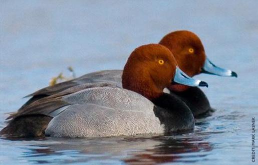 Redhead Duck Hunting 34